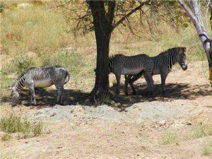 zebra in the shade